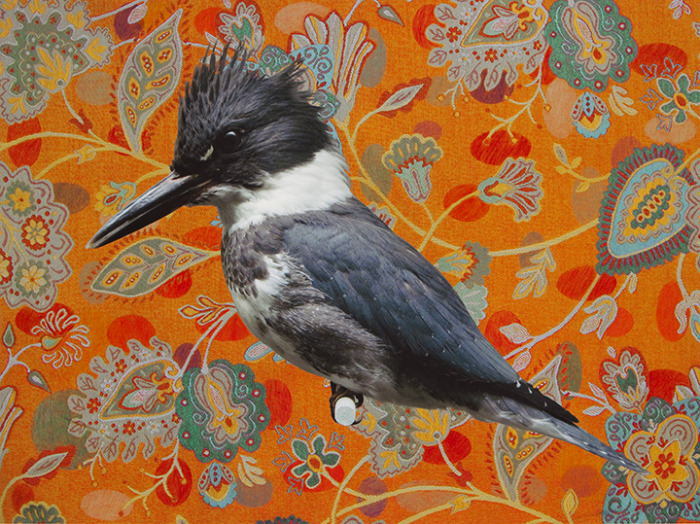 BELTED KINGFISHER WITH (RED) ELLIPSE FIELD