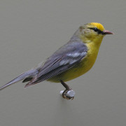 GOLDEN WINGED WARBLER