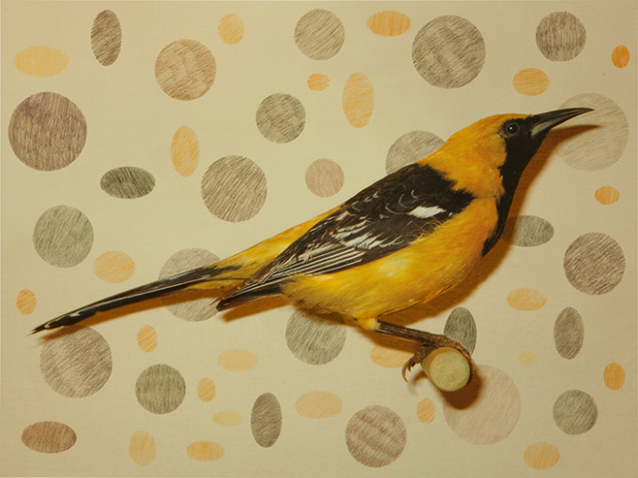 HOODED ORIOLE 1 OF 5
