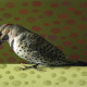 NORTHERN FLICKER 1 OF 5