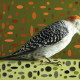 RED-BELLIED WOODPECKER IN ELLIPSE FIELD