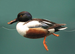 SHOVELER DUCK SINGLE