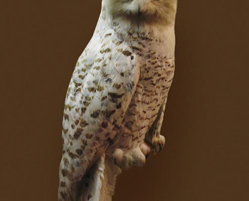 SNOWY OWL IN BROWN FIELD