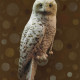 SNOWY OWL IN BROWN FIELD 1 OF 5