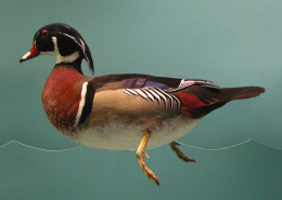 WOOD DUCK SINGLE